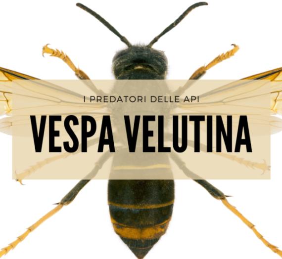 I predatori delle api: Vespa velutina