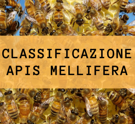 Classificazione Apis mellifera