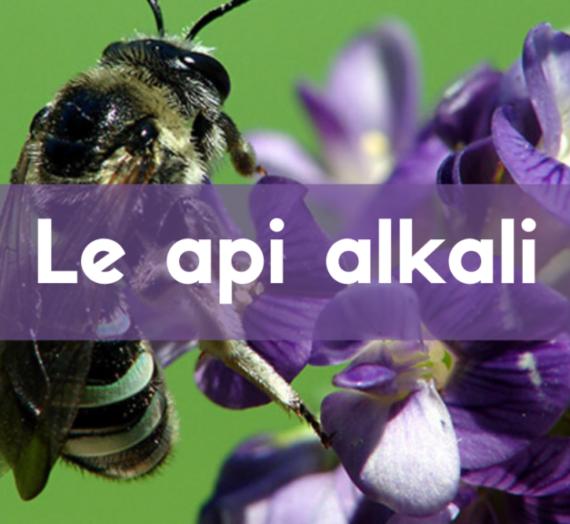 """Alkali, le api che vivono """"in condominio"""""""