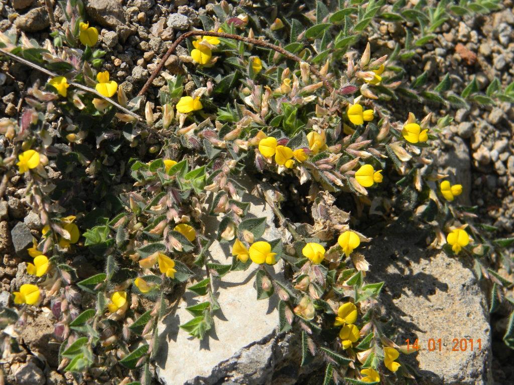 Crotalaria alcaloidi pirrolizidinici